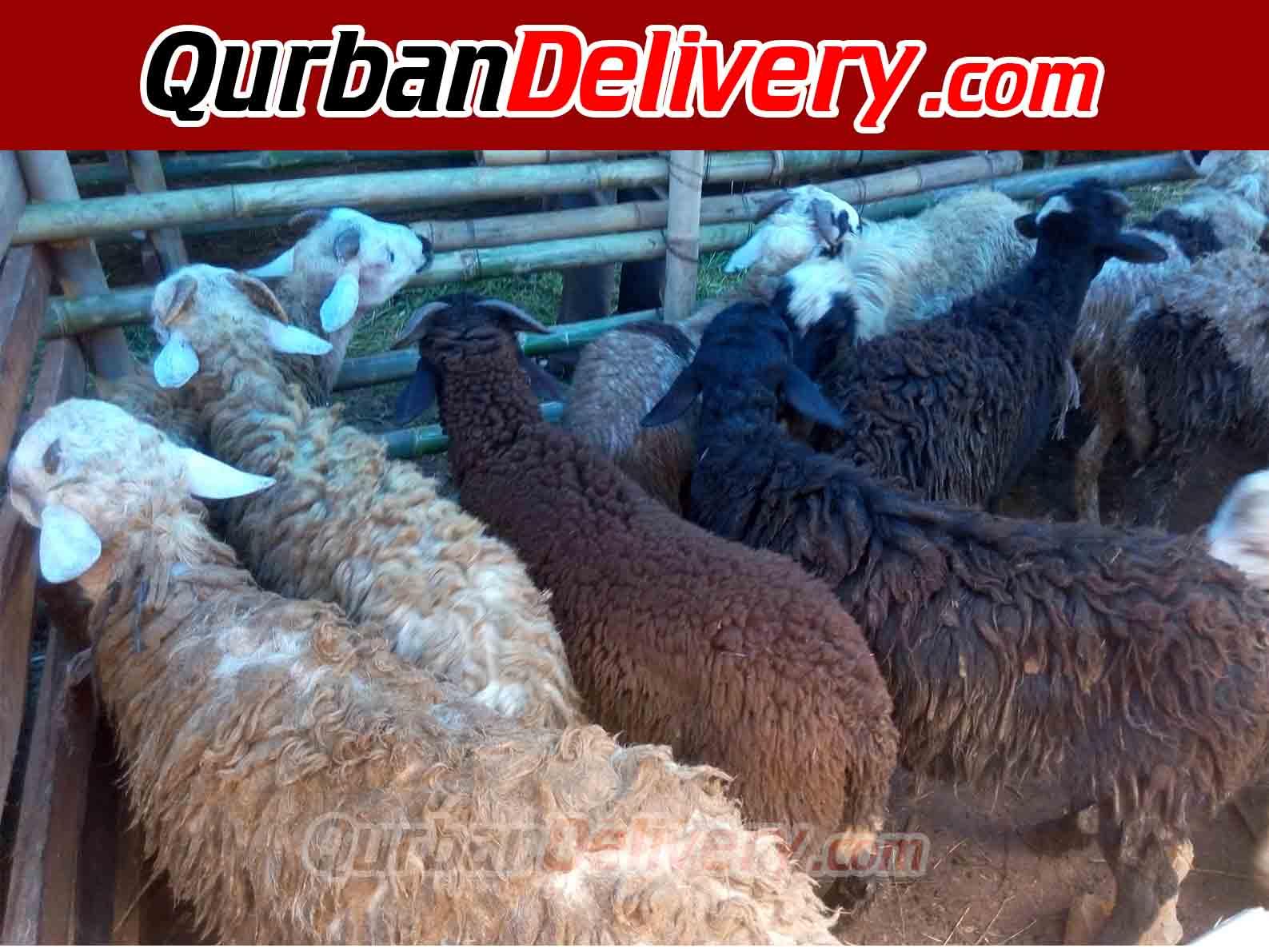 Rata Rata Harga Sapi Qurban 500 Kg Tahun 2020-Qurban Delivery