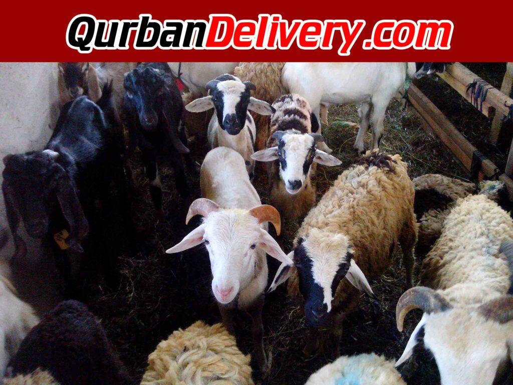 harga kambing qurban