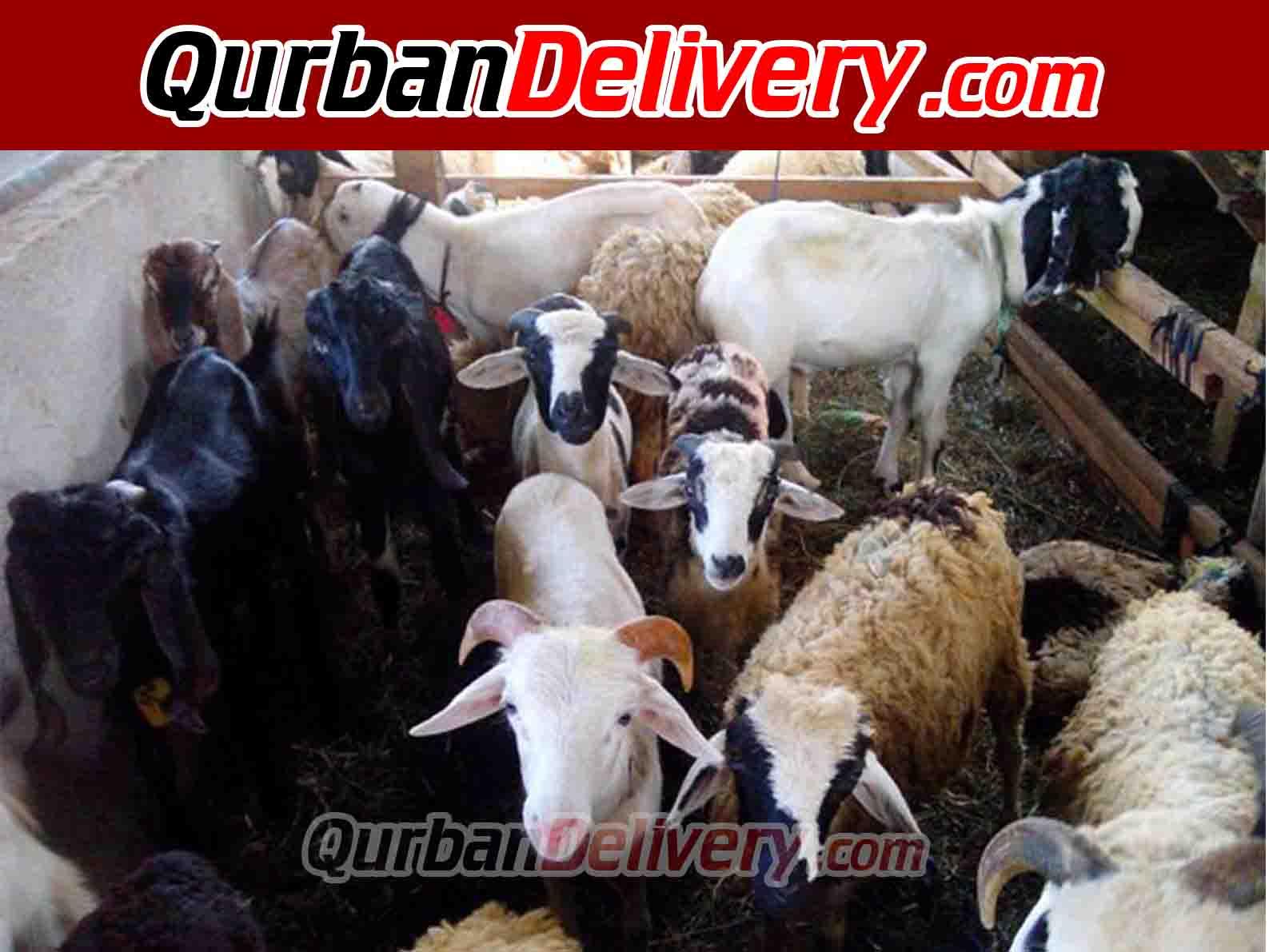Jual Sapi Limosin Qurban Jabodetabek Prediksi 2020-Qurban Delivery