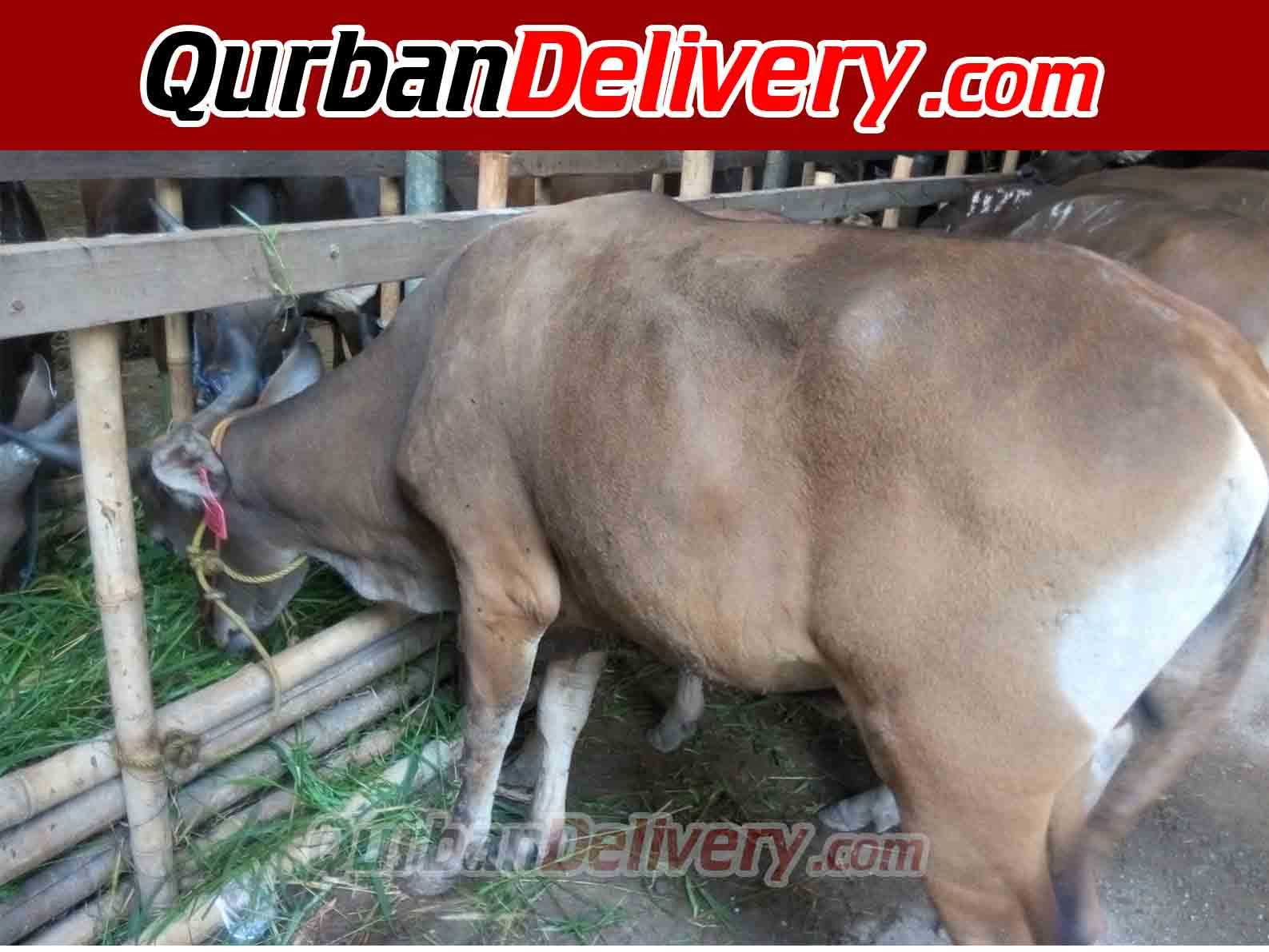 Jual Sapi Bali Qurban Murah Prediksi 2020-Qurban Delivery