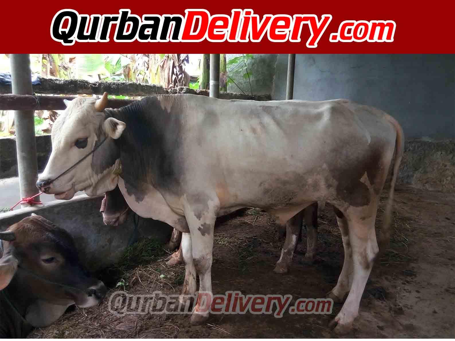 Harga Sapi Limosin Qurban Jabodetabek Prediksi 2020-Qurban Delivery