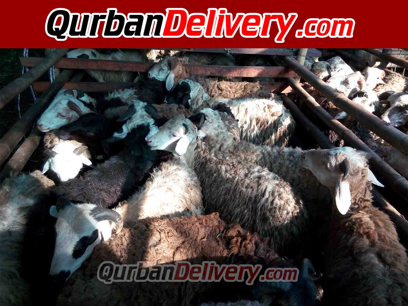 Rata Rata Harga Sapi Qurban 450 Kg Tahun 2020-Qurban Delivery
