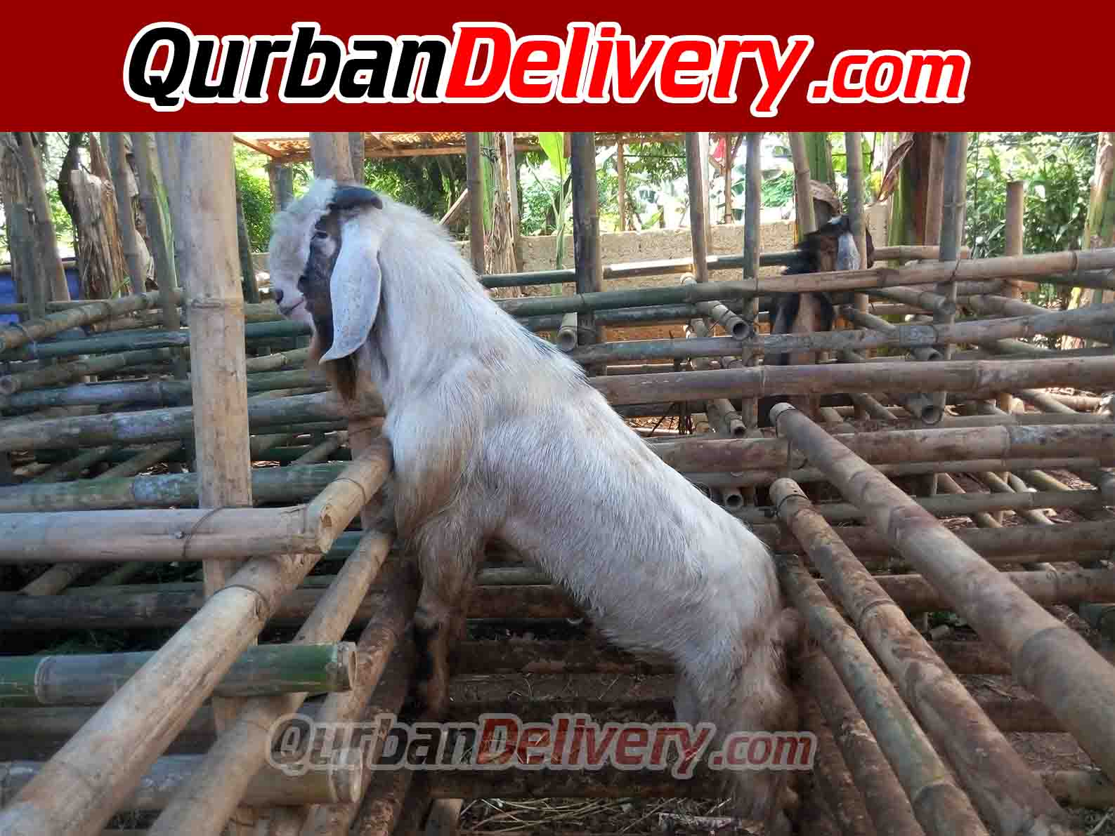 Harga Sapi Bali Qurban Murah Prediksi 2020-Qurban Delivery