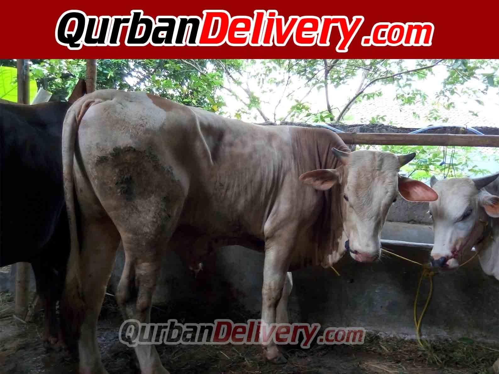 Jual Sapi Limosin Qurban Hari Ini Prediksi 2020-Qurban Delivery