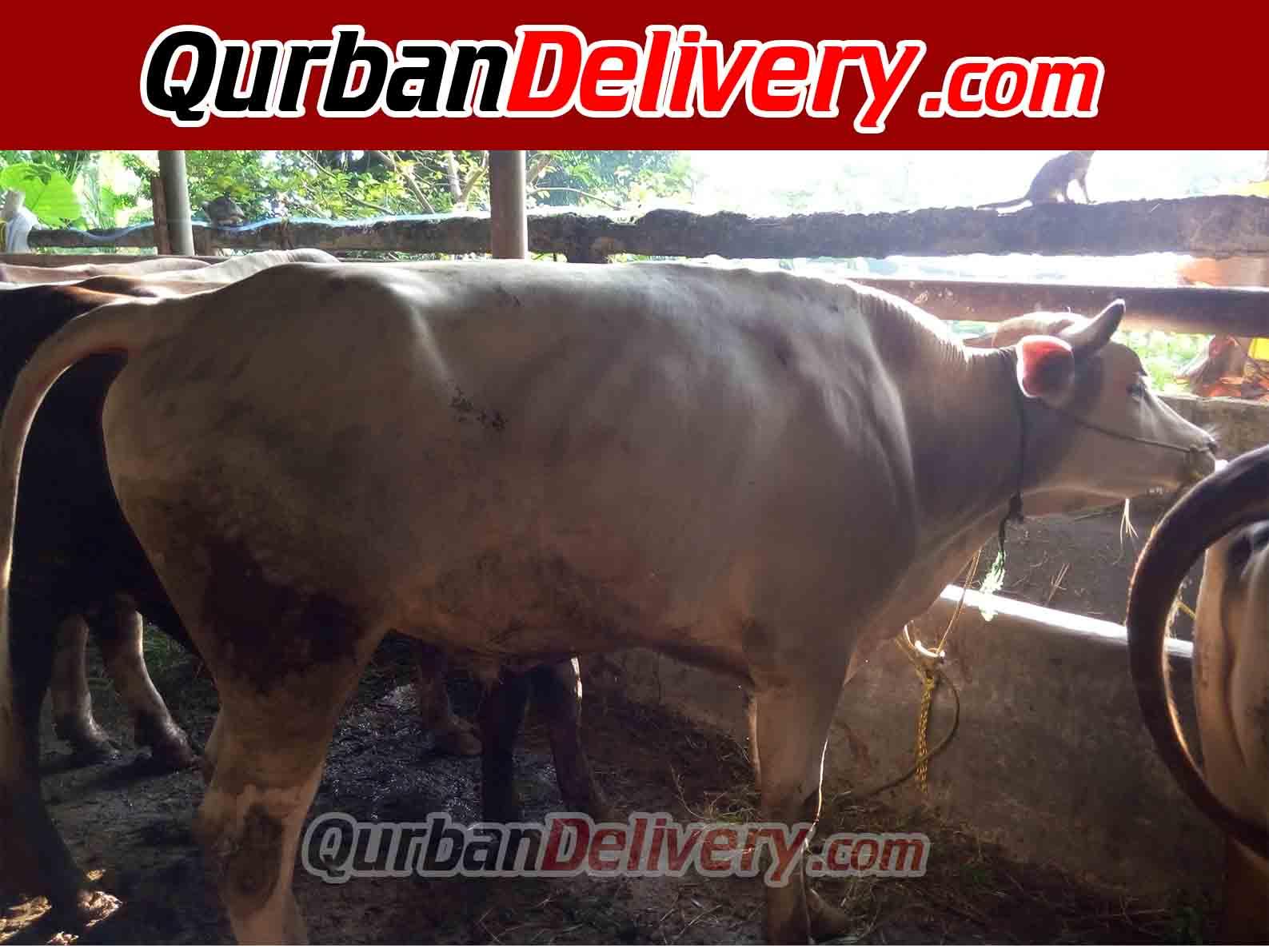 Harga Sapi Limosin Qurban Di Cikarang Prediksi 2020-Qurban Delivery