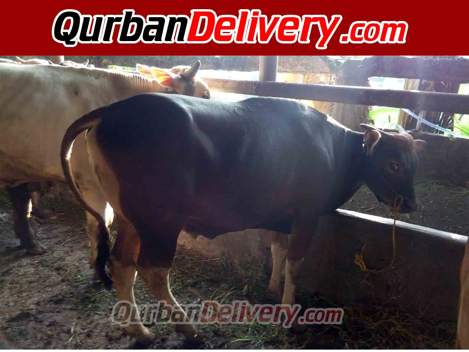 Harga Sapi Bali Qurban Di Bekasi Prediksi 2020-Qurban Delivery