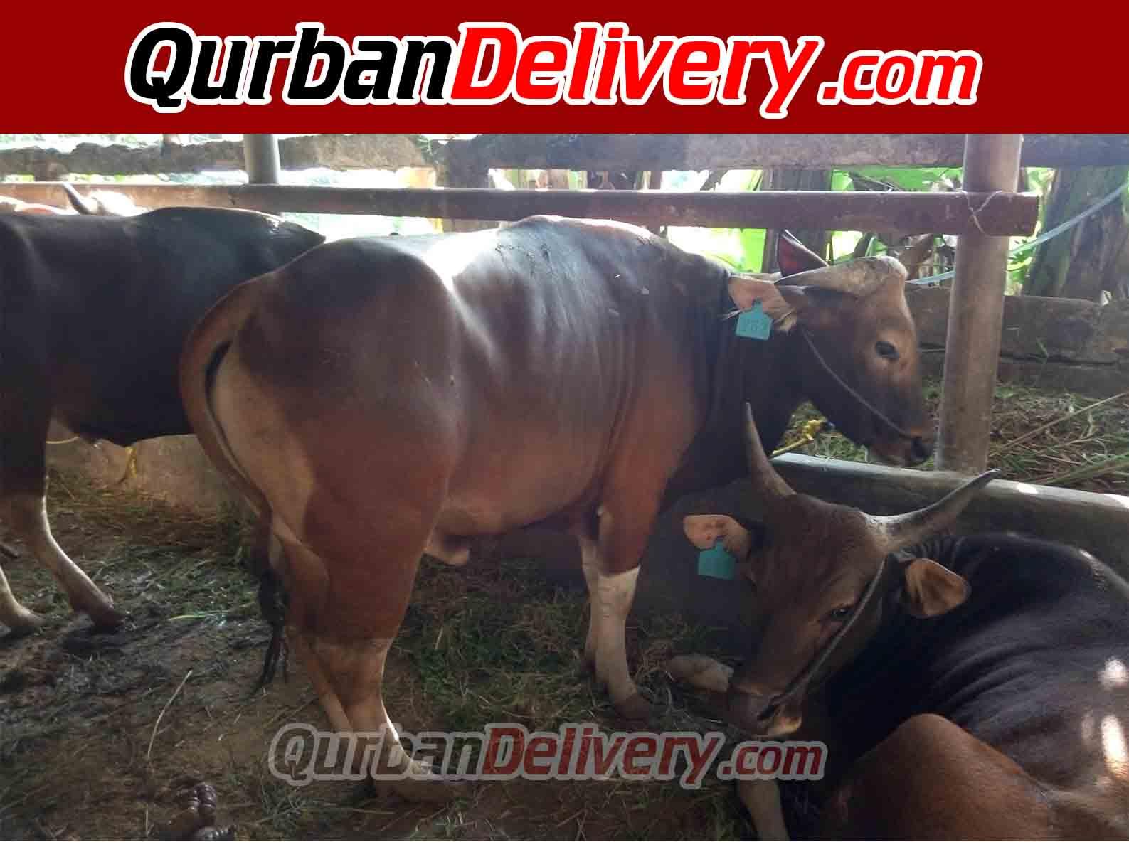 Harga Sapi Limosin Qurban Di Tangerang Prediksi 2020-Qurban Delivery